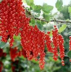... vers fruit on Pinterest | Cherry season, Blue pearl and Sweet cherries
