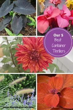 """Learn our top picks for container gardening Thrillers. Thrillers are the """"drama queens"""" of a container. They are plants with height and they beg to be the center of attention."""