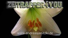 Lilien Lilium Timelapse Zeitraffer Blooming lily