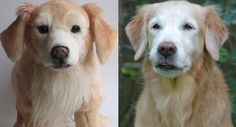Susie the aging, beautiful Golden Retriever and her Cuddle Clone :)