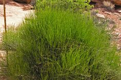 This shrub grows naturally in many parts of the U.S. Ephedra viridis gets its common name, Mormon Tea, due to its popularity with Mormons who use it as an energy drink in place of caffeine, which they can't drink according to their religion.