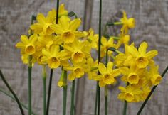 Narcissus Flowers (Daffodil Flowers)