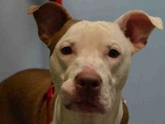 SAFE ♡ MAGNIFICENT – A1074343  **RETURNED 06/02/2017**  SPAYED FEMALE, BROWN / WHITE, AM PIT BULL TER MIX, 1 yr, 4 mos OWNER SUR – ONHOLDHERE, HOLD RELEASED Reason LLORDPRIVA Intake condition EXAM REQ Intake Date 06/02/2017, From NY 11207, DueOut Date