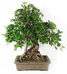 Ficus ginseng bonsai ginseng power for the bonsai lover bonza bonsa et - Tableau vegetal jardiland ...