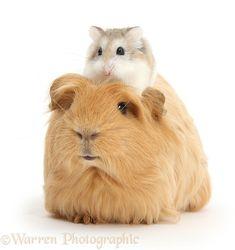 Ginger Guinea pig and Roborovski Hamster