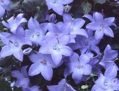 Campanula isophyllaBetlehemsstjerneCampanulaceae KlokkefamilienSTUE Blå/lilla Purple Flowers, Planting Flowers, Gardening, Home, Plant, Lawn And Garden, Urban Homesteading, Horticulture