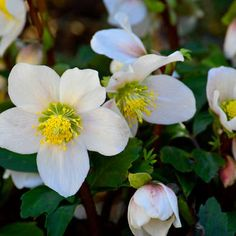 Hellebore Plants for Shade