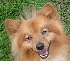 Cody is an adoptable Pomeranian Dog in Delaware, OH. Cody is approx 2 yrs old, he is a beautiful pomeranian/sheltie mix. Still a bit on the thin side...approx 10 lbs he needs to gain a couple more pou...