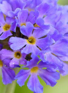 Drumstick Primrose (primula denticulata) 'Lilac'