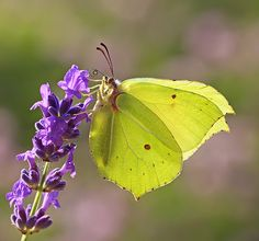 The beautiful Brimstone butterfly - one of the first signs of spring