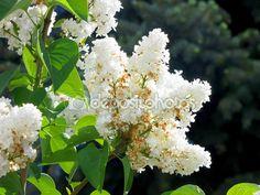 Сиреневые цветы на белом фоне — Стоковое фото © alexey19781 #75178897