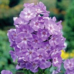 Laura brings elegance to the summer garden with stunning, lavender flowers and white, contrasting centers. Reaching about two feet tall, this Phlox is perfect for a border or small space garden. Lavender Flowers, All Flowers, Purple Flowers, Beautiful Flowers, Phlox Flowers, Beautiful Gorgeous, Phlox Plant, Biennial Plants, Cottage Garden Plants