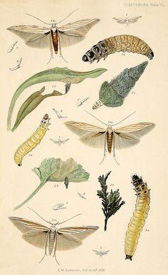 Coleophora pennella (as onosmella), C. lineolea, C. pyrrhulipennella  Stainton 4, VII (1859). on Flickr.Via Flickr: source-Delta Keys