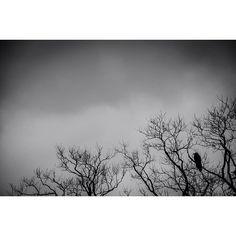 #bw #bnw #black_and_white #blackandwhitephotography #nature #trees #nikonphotography #crow #モノクロ #写真撮ッテル人ト繋ガリタイ #写真好キナ人ト繋ガリタイ #過去ノ写真 #木 #カラス by yuriepoc