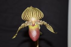Paphiopedilum Zycleon - Slippertalk Orchid Forum- The best slipper orchid forum for paph, phrag and other lady slipper orchid discussion!