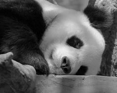 love panda bears...