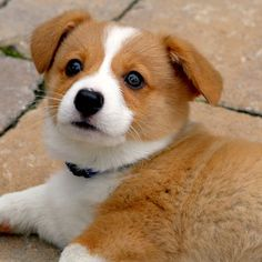 """""""Maximus, a Pembroke Welsh corgi, is a smart, sweet and fuzzy little ball of joy. He loves to socialize with people, children and other dogs. Pembroke Welsh corgi puppies are funny, clever and devoted to their human companions. Their temperament is very laid back and playful."""""""