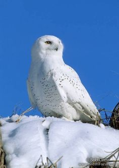 Snowy Owl (Bubo scandiacus) Location: Kansas, United States © Bob Gress < www.birdsinfocus.com
