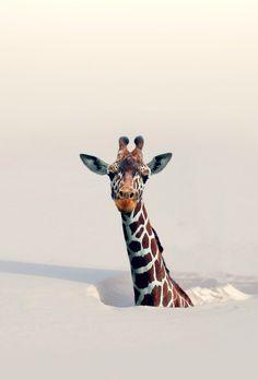 Giraf in winter