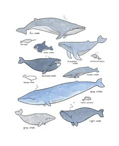 My take on the classic whale poster! A stylized chart of various whales and other marine mammals. Illustration drawn in ink and watercolors and