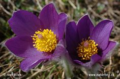 Pasque Flower Pictures, Pasque Flower Images | NaturePhoto