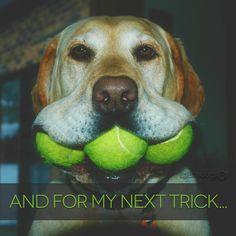 #Labrador funny dog!