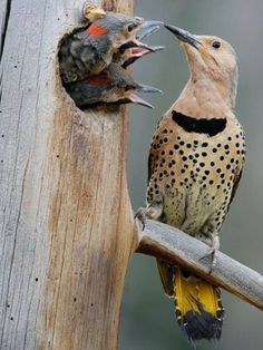 yellow-shafted northern flicker   photo by kdee54