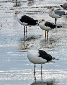 Great and Lesser Black-backed Gulls, Myrtle Beach, SC
