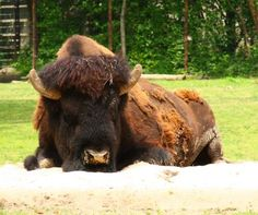 Buffalo at the Bronx Zoo, by gsz