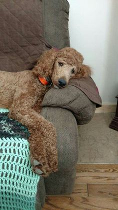 Ruby relaxing after chasing the cat. the cat won. Cute Dogs And Puppies, I Love Dogs, Puppy Love, Doggies, Puppy Cut, Poodle Puppies, Red Poodles, French Poodles, Standard Poodles