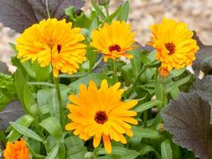 The calendula, or pot marigold, is an annual flower native to the northern Mediterranean countries. Its name refers to its tendency to bloom with the calendar, usually once a month or every new moon. The petals can be added to salads.