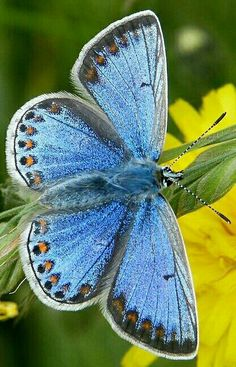Butterfly Kisses, Blue Butterfly, Butterfly Wings, Most Beautiful Butterfly, Beautiful Bugs, Beautiful Pictures, Types Of Butterflies, Flying Flowers, Butterfly Chrysalis