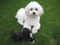 Coton De Tulear Grooming | Stuff on Coton De Tulear General Dog Chat