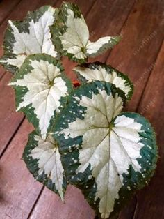 200pcs-Begonia-Rare-Bonsai-Flower-Seeds-Looks-Like-Coleus