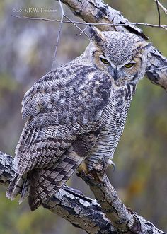 Great Horned Owl 20131029 | Flickr - Photo Sharing!