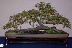 5 X Popular Bonsai Trees Fagus Sylvatica European Beech Best OFFER for sale online Pre Bonsai, Bonsai Art, Bonsai Trees, Live Aquarium, Planted Aquarium, Silver Fir, Popular Tree, Horse Chestnut, Bonsai