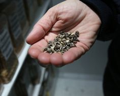 Climate Change Adds Urgency to Push to Save World's Seeds   Virginia Gewin for e360