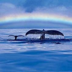 Whale Watching on Maui is a must-do activity for those traveling between December and April. In the meantime, check out these rainbow beauties! Orcas, Beautiful Creatures, Animals Beautiful, Delphine, Humpback Whale, Whale Sharks, Whale Tail, Ocean Creatures, Whale Watching