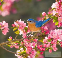 Adorable Bluebird in Blooming Pink Flowers