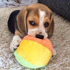 Are you interested in a Beagle? Well, the Beagle is one of the few popular dogs that will adapt much faster to any home. Whether you have a large family, p Cute Beagles, Cute Puppies, Dogs And Puppies, Art Beagle, Beagle Puppy, Pet Dogs, Dog Cat, Pets, Doggies