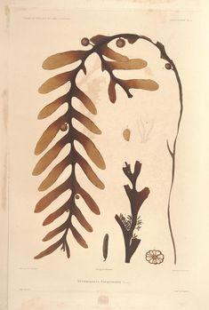Seaweed - Voyage au Pol Sud et Dans L'Oceanie Science Illustration, Nature Illustration, Sea Plants, Nature Prints, Botanical Prints, Natural History, Vintage Prints, Sketches, Drawings