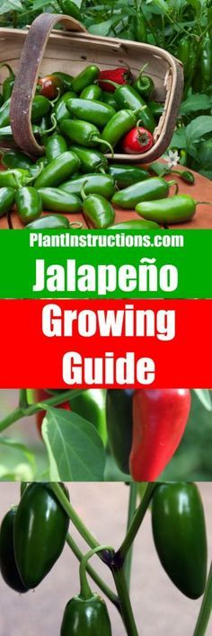 Jalapeno pepper growing guide for growing THE most flavorful jalapenos!