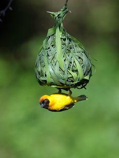 Tejedor - Baya Weaver (Ploceus philippinus). Es un tejedor encontrado en todo el sur y el sudeste deAsia.