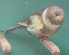Variegated Crested Norwich Canary