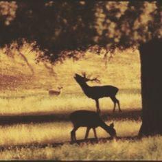 UN PLAN PARA UNA TARDE FANTASTICO. Cuando llega el mes de septiembre en las dehesas y campos de la Peninsula se oyen hondos bramidos que ocupan las noches de Otoño es la berrea del ciervo que inunda los bosques con su canto de celo. Esto lo podemos ver a menos de 10 km en linea recta de la Puerta del Sol en el monte del Pardo.  Todos los viernes y sábados hasta que termine la Berrea o la ronca del Gamo. desde las 5 de la tarde hasta el anochecer.  PRECIO 12  RESERVAS Y  INFO EN…