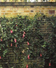 Talking Plants: Attention grabbing Chilean Bell Flower
