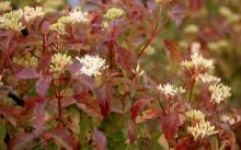 Cornus sanguinea 'Midwinter Fire' flower clusters and leaves, spring