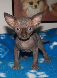 OH my stars, I love this little chocolate Sphynx baby!!!!