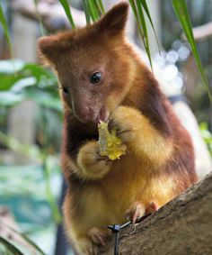 Meet Mian, the first endangered Goodfellow's Tree Kangaroo born at the Perth Zoo in 36 years.  Video at ZooBorns.com and at http://www.zooborns.com/zooborns/2016/08/meet-mian-the-endangered-tree-kangaroo-joey.html