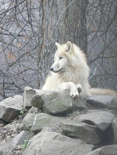 White wolf chilling ♥